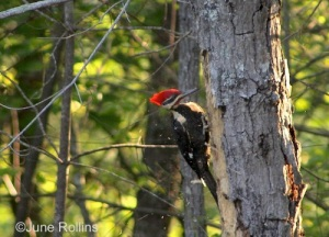 pileated ref web