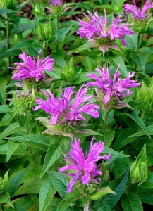 bee balm blooming web